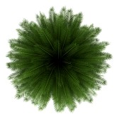 14890707-top-view-of-canary-island-date-palm-tree-isolated-on-white-background