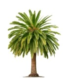 15073981-green-beautiful-palm-tree-isolated-on-white-background